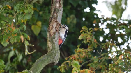 Wildlife - Woodpecker in a tree Стоковые видеозаписи