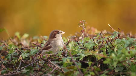 young sparrow : birds sparrow in hedgerow