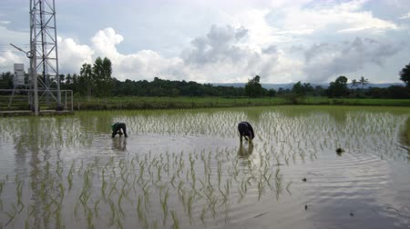 Thai farmers transplant rice seedlings in Nakhonphanom province, Northeastern of Thailand. In june 2017