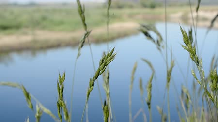 ziguezague : green grass moving and small river in the background Stock Footage