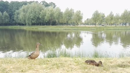 parkland : Two duck walking on green grass