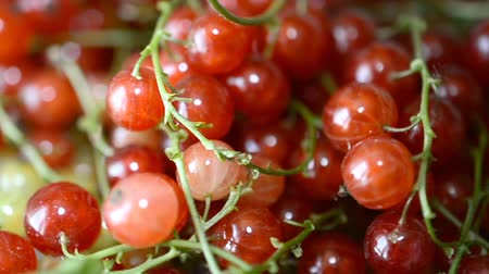 красная смородина : Berries of red and white currants.