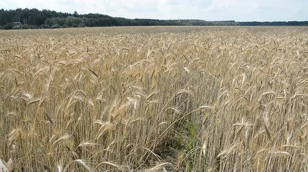 nasiona : Golden wheat ready to be harvested