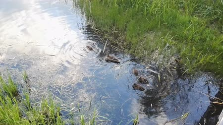 bird learning : Mother duck and ducklings are swimming in the pond