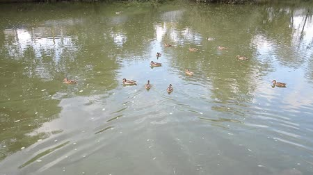 dny : ecological problems: ducks swimming in a dirty river