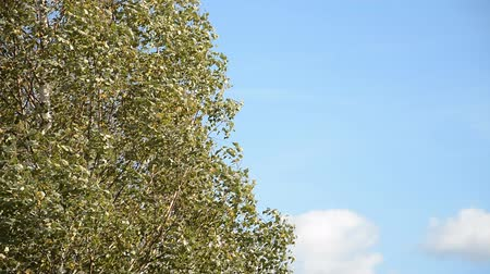 ormanda yaşayan : young birches and blue sky background
