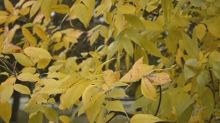dead : Autumn nature background, yellow leaves branch Stock Footage