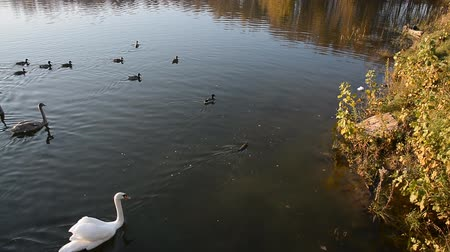 ecologically : Animals wildlife, birds: swan family swimming in the pond or lake, beauty in nature Stock Footage