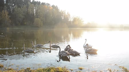 vízimadarak : Animals wildlife, birds: swan family swimming in the pond or lake, beauty in nature Stock mozgókép