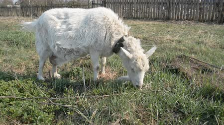 шнур : dirty Russian goat sows on the meadow and eats green grass