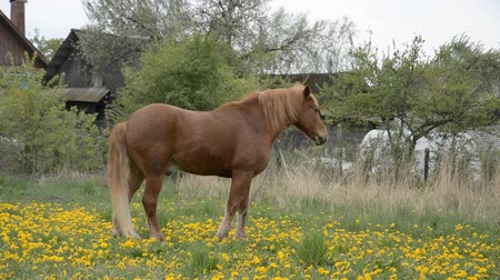 égua : Brown grazing horse on horse farm at spring day