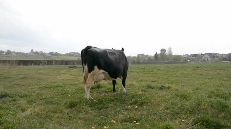 falu : The cow eats grass in the meadow and it is raining Stock mozgókép