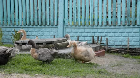 gramado : Few ducks in cage at agricultural animal exhibition