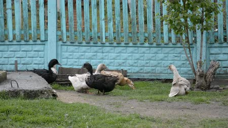 falu : domestic ducks in the Russian village Stock mozgókép