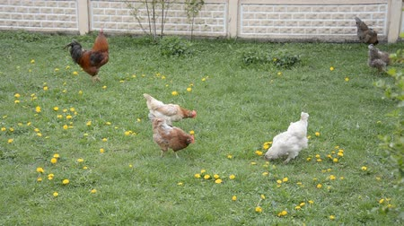 tyúk : Rooster and a hen are picking in flower meadow