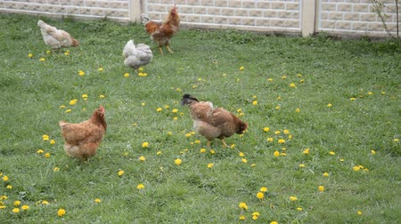 tyúk : Farm Chicken eating fresh green grass