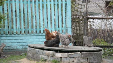 falu : Chickens and rooster are walking in the village Stock mozgókép