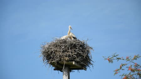 hnízdo : two white storks in a nest against the blue sky on a summer sunny day hd stock footage