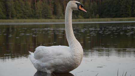 zwanenmeer : White Swan Floating In A Pond hd stock footage Stockvideo