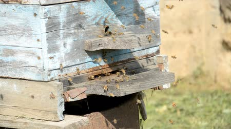 worker bees : Old bee uli on the farm close-up hd footage