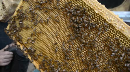 hive : Hands of the beekeeper keep a frame from the hive hd stock footage