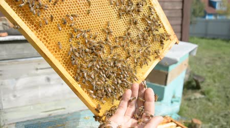 yabanarısı : The beekeeper shakes the honey cell to clear it from the bees hd stock footage