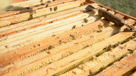 hive : The beeKeeper pulls out a frame of honey from the hive hd stock footage