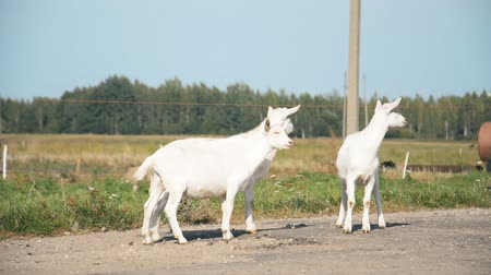 curioso : rustic concept, little white goats on a walk on the road hd stock footage