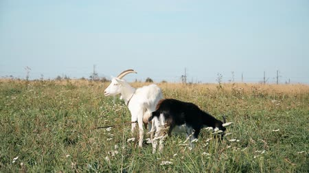 pastar : to the pasture. A herd of white and black goats hd stock footage