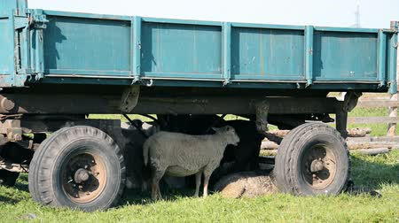 padok : sheep hiding under an old trailer from the hot sun hd footage
