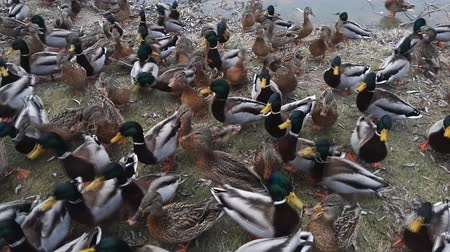hejno : hungry wild ducks near the city lake in autumn