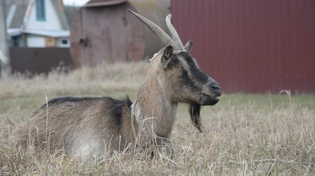 padok : Close-up face head russian brown goat in the autumn meadow Stok Video