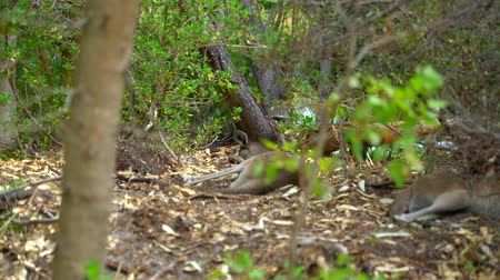 wallaby : Kangaroo laying down in the shade of the Park Australia