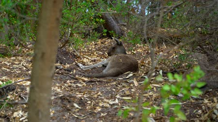 canguru : Kangaroo laying down in the shade of the Park Australia