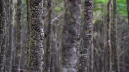 geçen : Punta Arenas Forrest Hike with Ocean View Stok Video