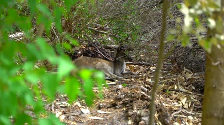 wallaby : Kangaroo laying down in the shade of the Park Stock Footage