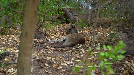 canguru : Kangaroo laying down in the shade of the Park Vídeos