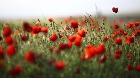 sen : Color shot of a field of poppy flowers. Wideo