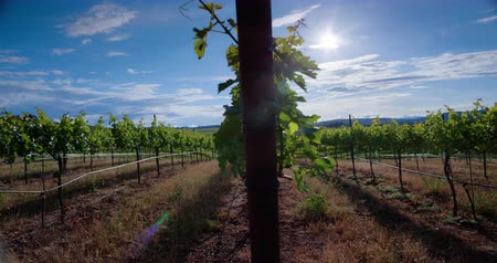 долина : Vineyard at sunset. A time lapse view of the sunset at a Napa Valley vineyard in Northern California. Стоковые видеозаписи