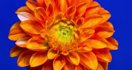 flor cabeça : Dahlia. Time Lapse of a blooming orange Dahlia flower. Stock Footage