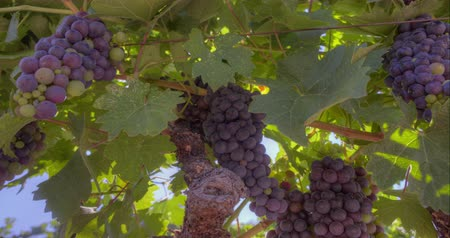 winogrona : Grape clusters.  A Panning close-up of Napa Valley grape clusters. Wideo
