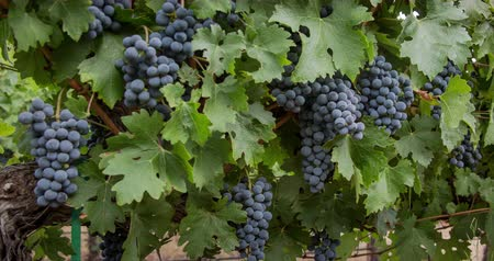 pincészet : Grapevine.  A Panning close-up of Napa Valley Cabernet Sauvignon grape clusters.