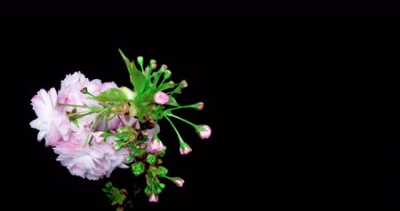 növekvő : Cherry Blossom time lapse. Filmed in a studio with a black background.