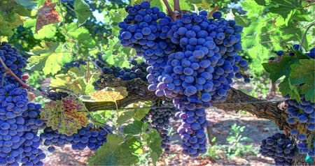 winogrona : Vibrant Ripe Grape Clusters on the Vine. Panning right. Wideo