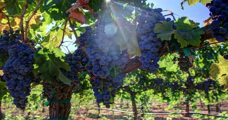 winogrona : Vibrant Ripe Grape Clusters on the Vine. Panning left.