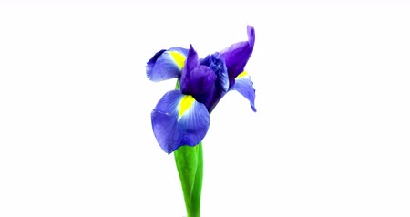 irys : Blooming Iris Flower. Filmed in a studio on a white background.