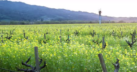 pincészet : Mustard flowers amongst grapevines. Filmed in Napa Valley during spring. Stock mozgókép