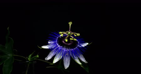 namiętność : Passion Flower Life Cycle. Time lapse from bloom to wilt. Filmed in a studio on a black background. Wideo