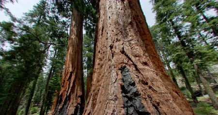 Калифорния : Giant Sequoia Pine. Filmed in Sequoia National Forrest, California.