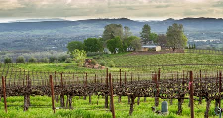 winogrona : Vineyard Morning Light. Filmed in Lake County, Northern California.